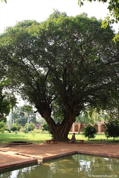 Fikus-Baum in der Parkanlage beim Humayun Mausoleum