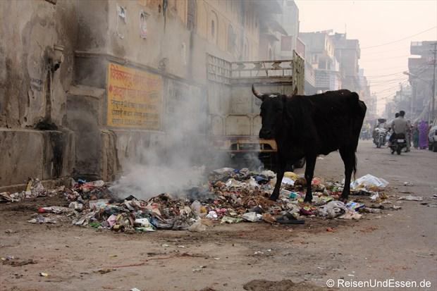 Heilige Kuh in den Gassen von Jaipur