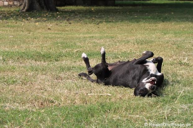 Ein Hund wälzt sich vor Freude im Park des Humayun Mausoleum