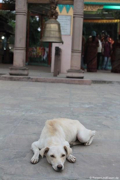 Hund in Sarnath beim Tempel