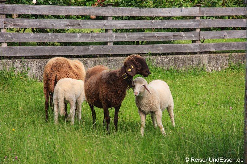 Schafe auf dem Bogner Hof in Absam