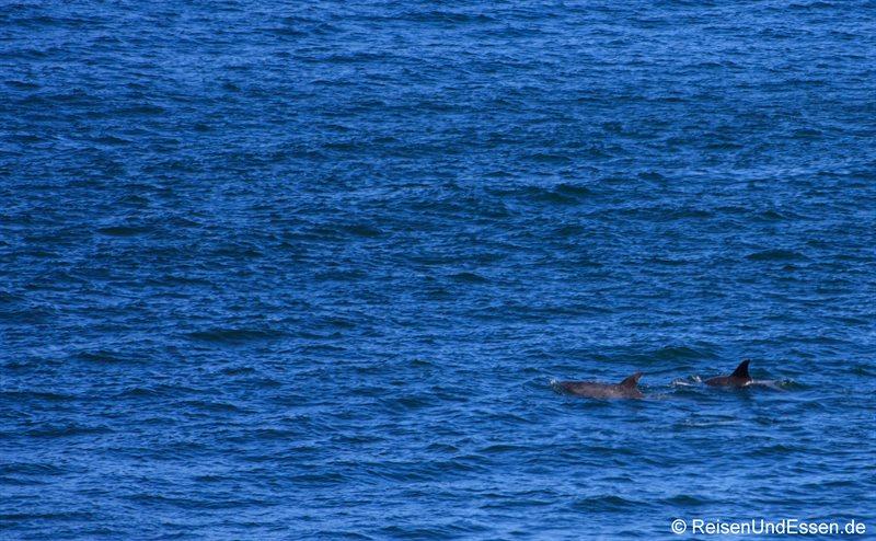 Delphine unterhalb des Clarence Drive
