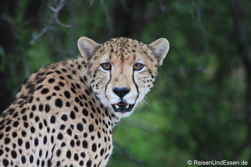 Auge in Auge mit einem Gepard