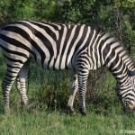 Pirschfahrt im Krüger Nationalpark