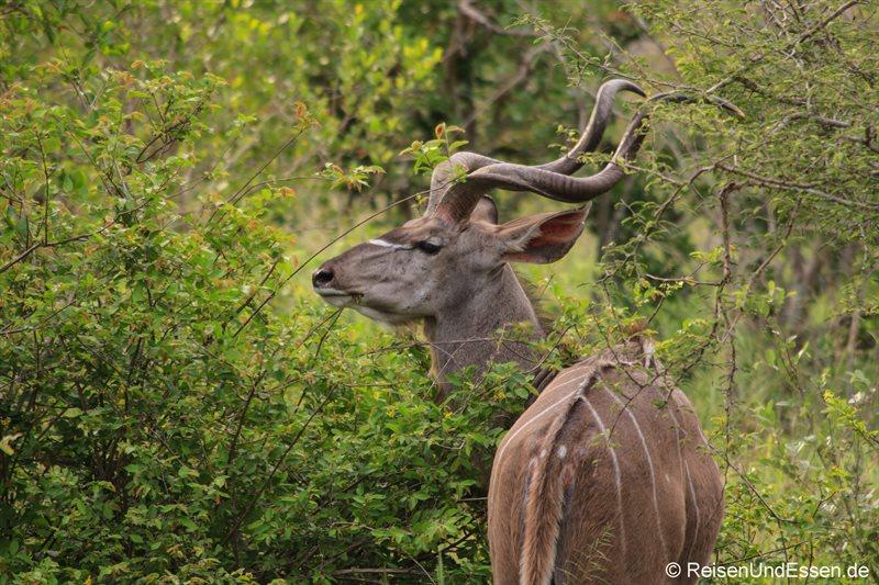Kudu im Krüger Nationalpark