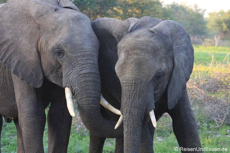 Elefantenpärchen im Krüger Nationalpark
