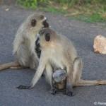 Affeneltern mit Baby