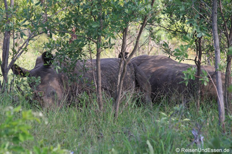 Zwei Nashörner machen Siesta