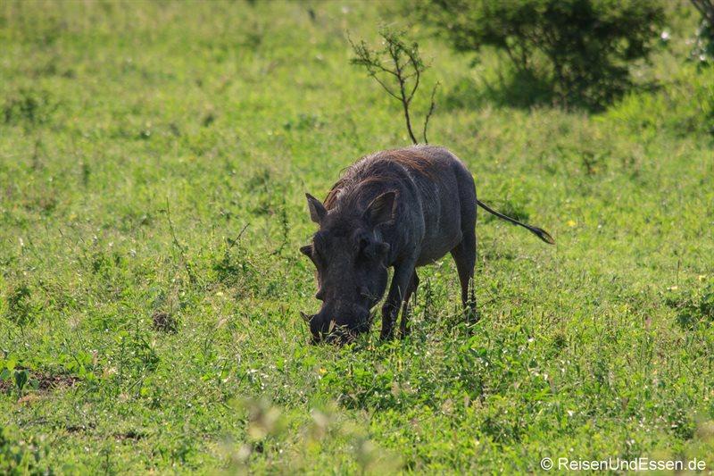 Wildschwein im Krüger Nationalpark
