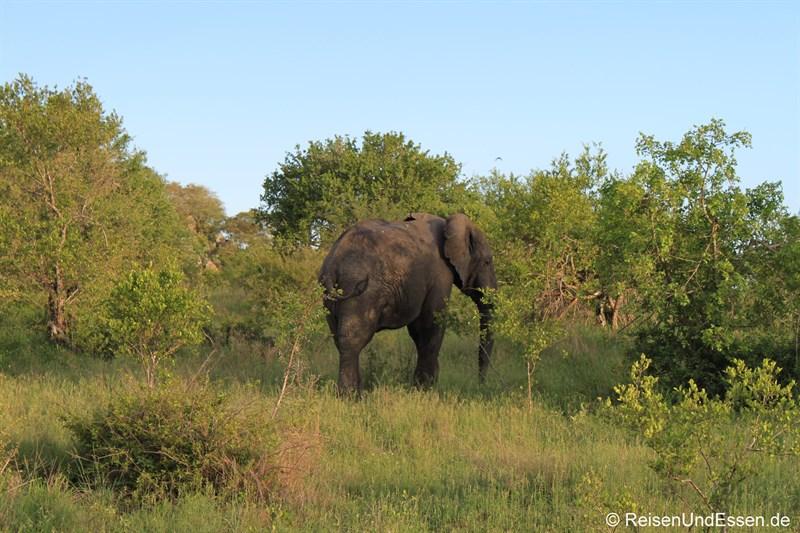 Elefant während der Pirschfahrt