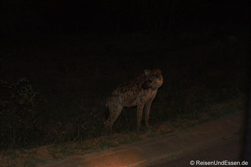 Hyäne bei der Nachtsafari