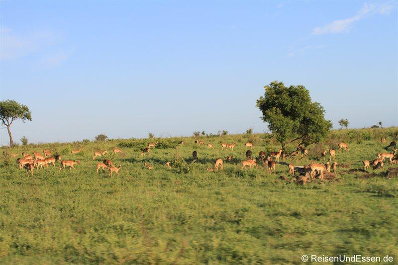 Impalas bei der Pirschfahrt