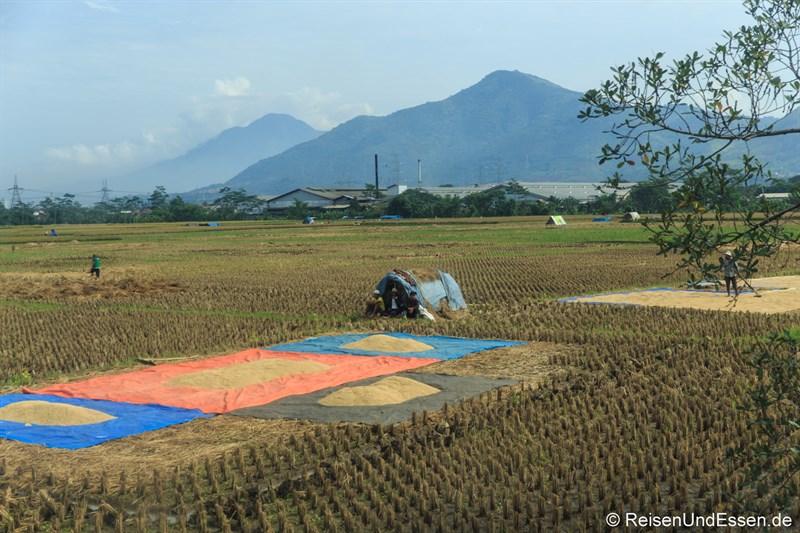 Reis zum Trocknen