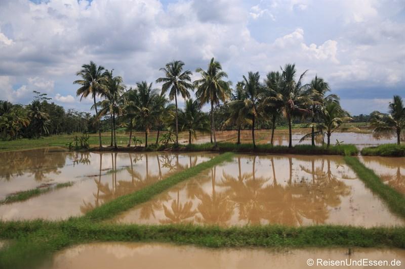 Blick auf ein Reisfeld mit Wasser