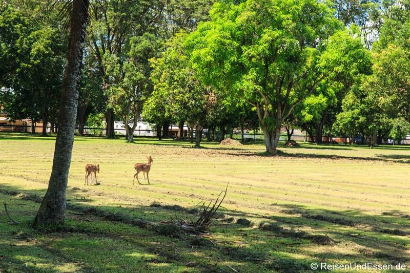 Rehe in der Tempelanlage Prambanan