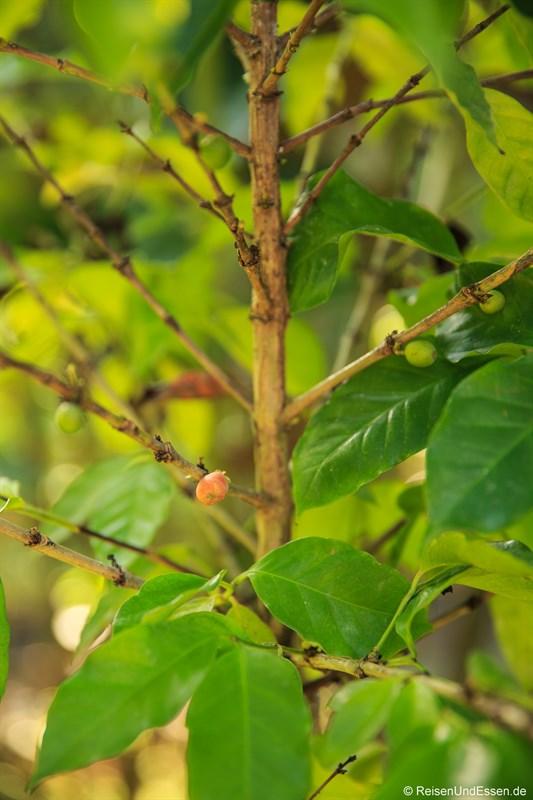 Kaffeekirschen für Kopi Luwak