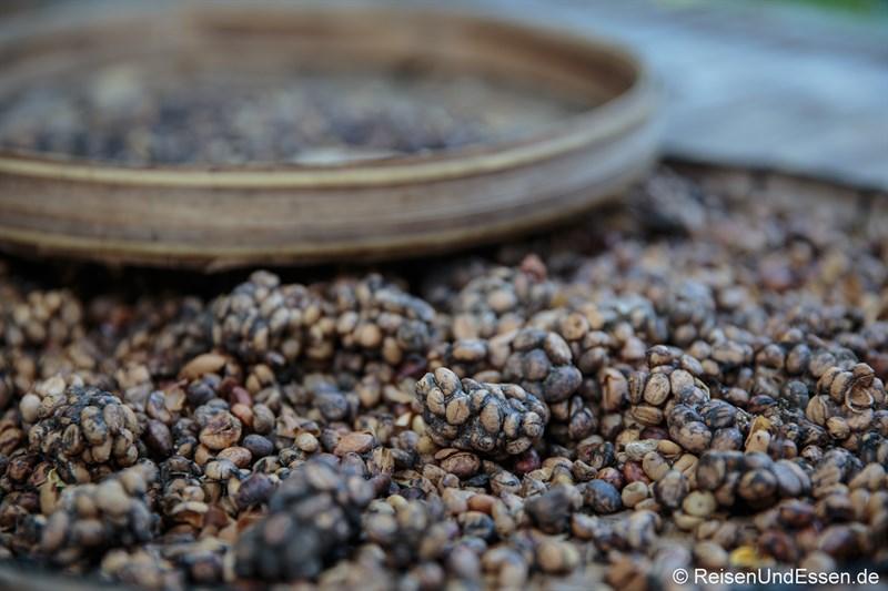 Unverdaut ausgeschiedene Kaffeebohnen für Kopi Luwak