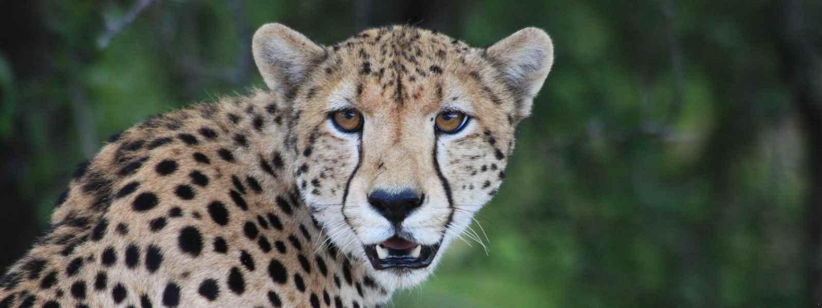 Gepard Südafrika