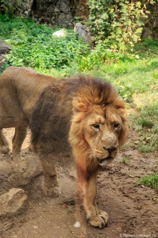 Löwe im zoologischen Garten des Museums