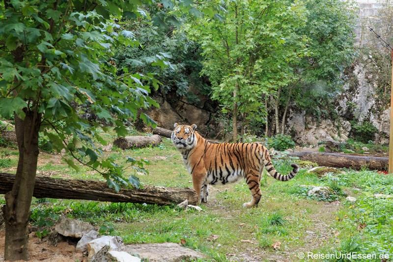 Tiger im zoologischen Garten des Museums