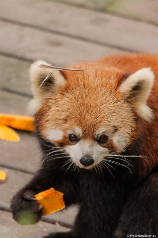 Kleiner Panda beim Essen