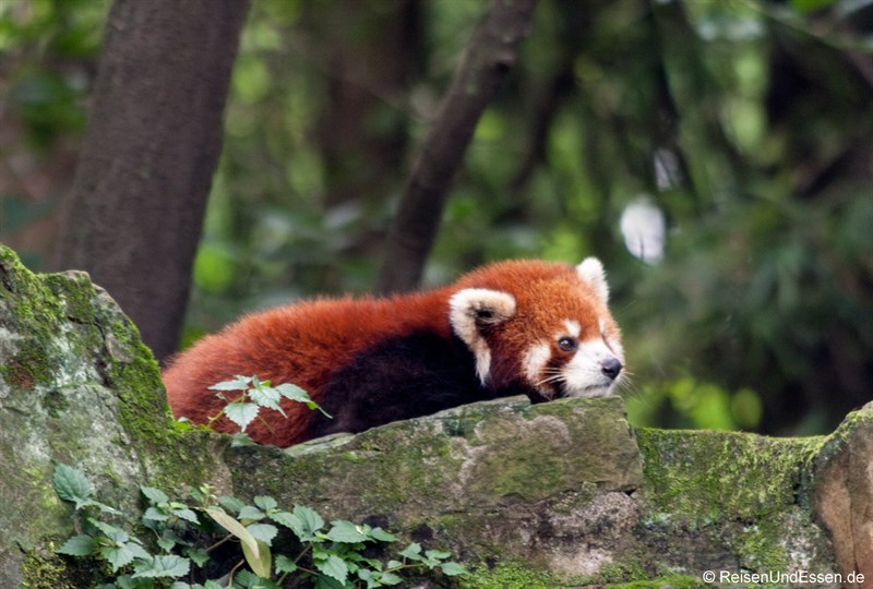 Roter Panda auf der Lauer