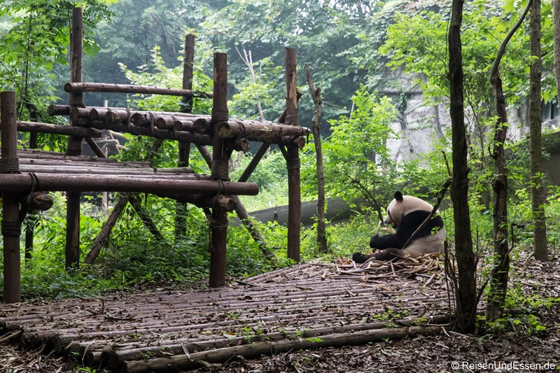 Grosser Panda im Aussengehege
