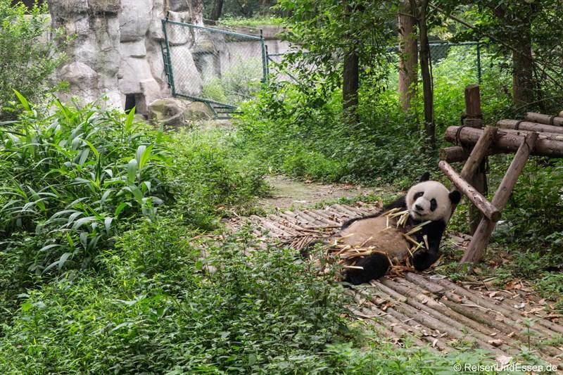 Grosser Panda beim Essen