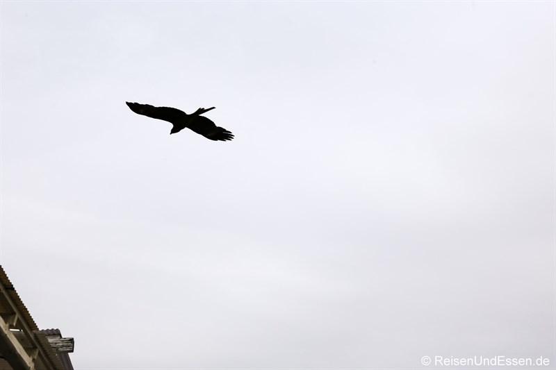 Raubvogel über der Insel Enoshima