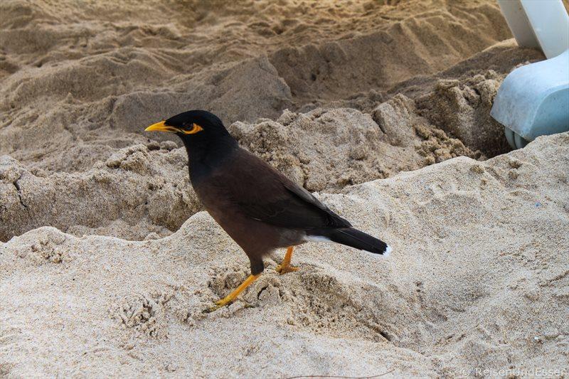 Vogel im Sand am Kata Beach auf Phuket
