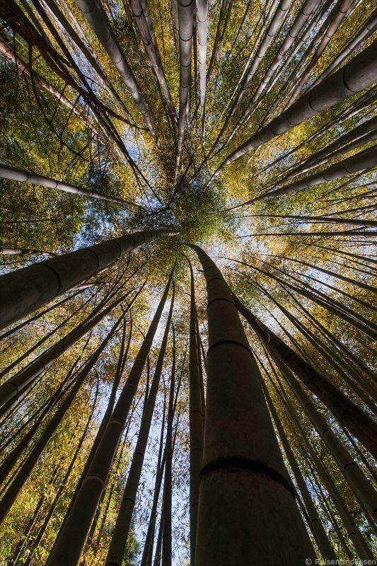 Bambuswald in Kyoto bei Saiho-ji