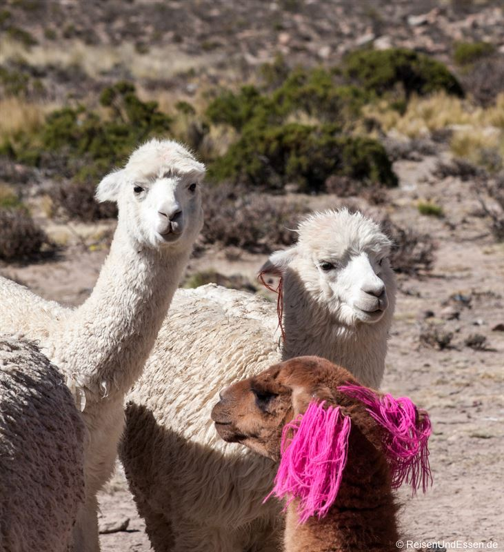 Neugierige Alpakas auf dem Altiplano