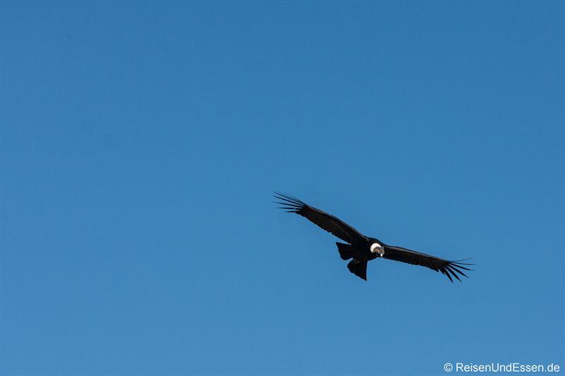 Ein Condor zieht seine Kreise