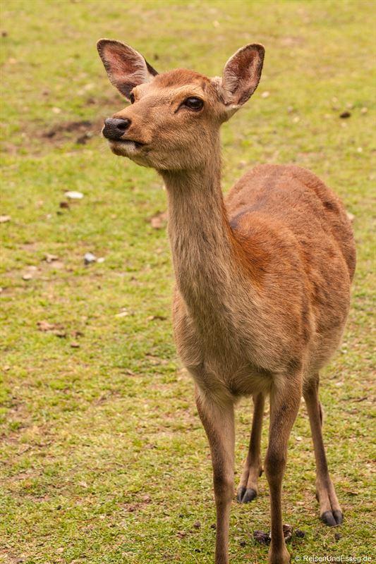 Hirsch im Narapark - Sehenswürdigkeiten in Nara