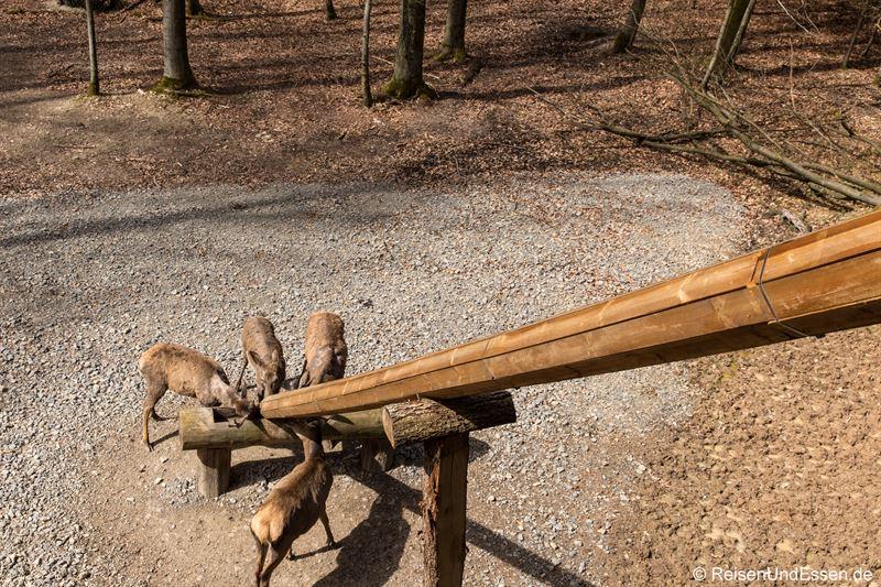 Fütterung der Rehe im Baumwipfelpfad Steigerwald