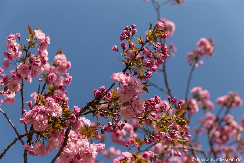 Kirschblüten im Kurgarten von Berchtesgaden