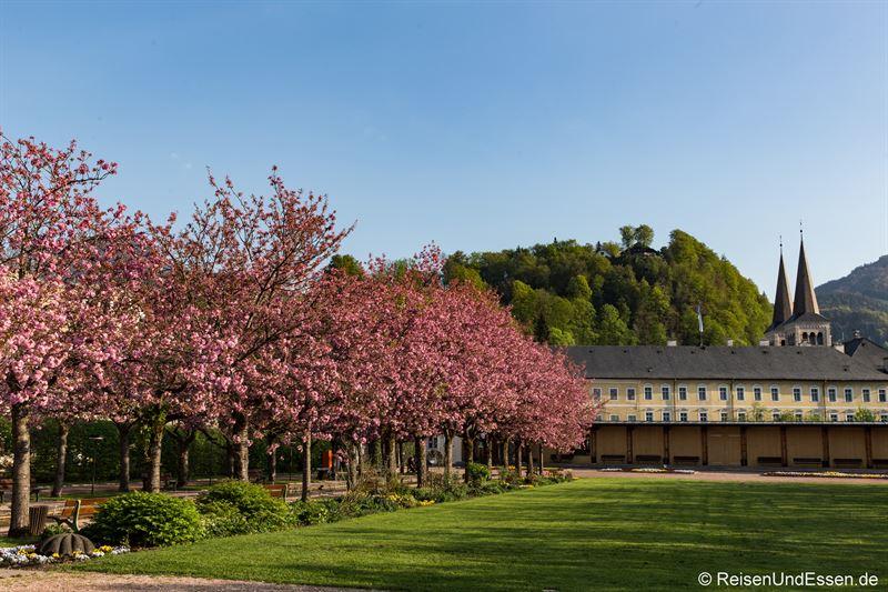 Japanische Kirschblüten im Kurgarten von Berchtesgaden