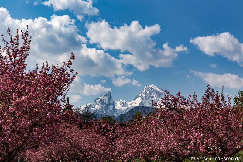 Watzmann und Kirschblüte im Kurgarten von Berchtesgaden