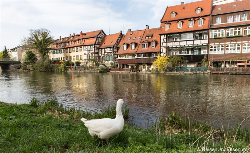 Gans bei Klein Venedig in Bamberg