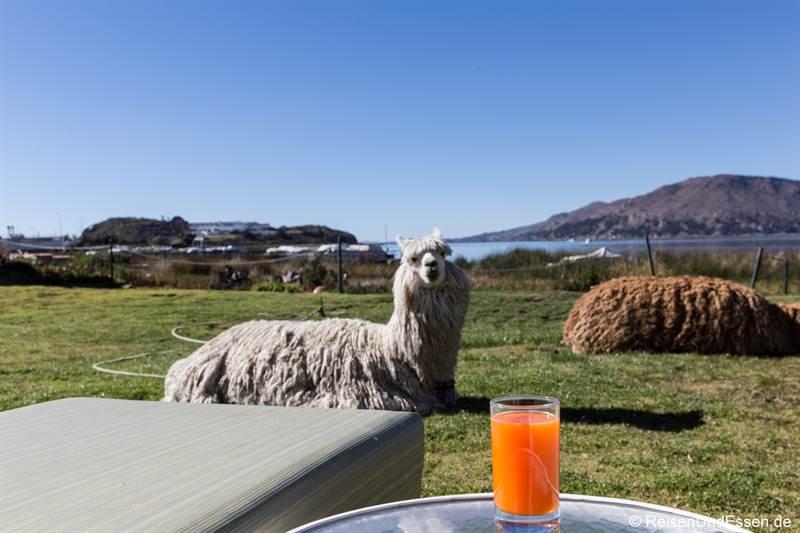Alpakas beim Frühstück im Hotel Sonesta Posadas del Inca Puno