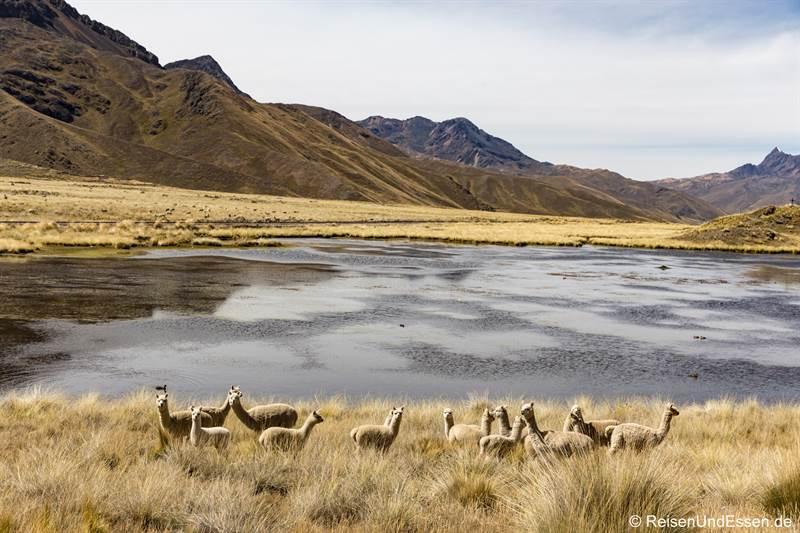 Alpaka bei Abra La Raya