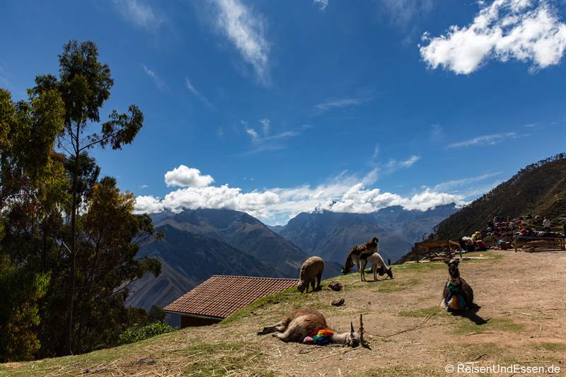 Lama über dem Urubamba-Tal