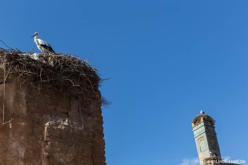 Störche in den Ruinen in Chellah bei Rabat