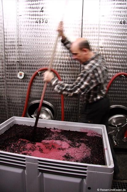 H. Ries in Aktion bei den Rotweintrauben