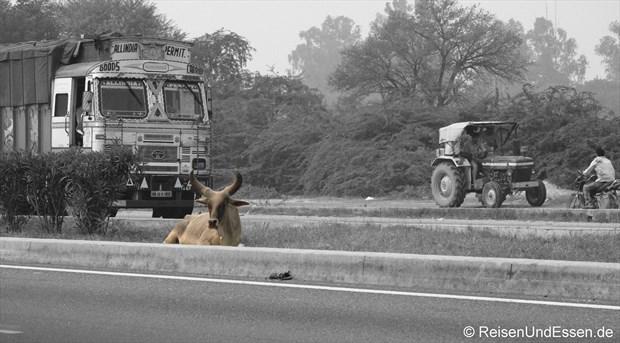 Kuh an der Autobahn Delhi - Jaipur