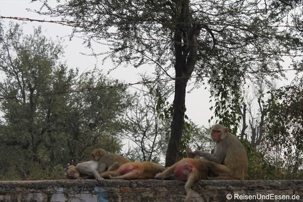 Affen bei der Mittagsruhe