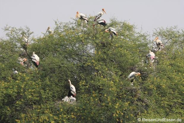 Störche auf Bäumen im Vogelschutzgebiet in Bharatpur