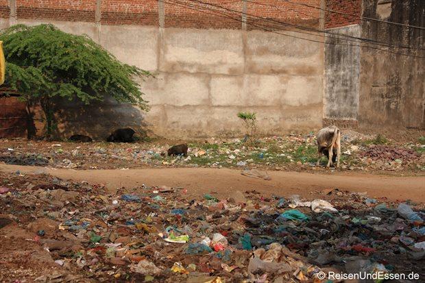 Müll und Tiere in Khajuraho