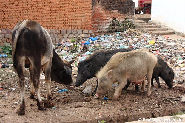 Kuh und Schweine im Müll