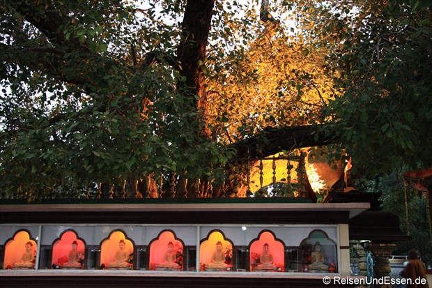 Buddha's Baum in Sarnath